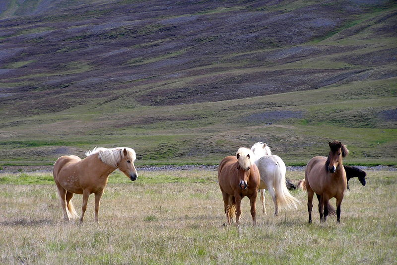 Best-of-North-Iceland - Horses-in-Iceland.jpg