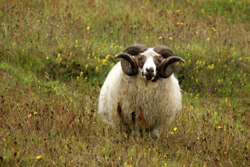 Spectacular-Iceland - Icelandic-sheep-near-Reynisfjara.jpg
