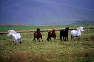 GJ-21-northen-lights-exploration - GJ-21-Iceland-horses.jpg