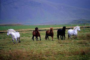 GJ-21-northen-lights-exploration - GJ-21-Iceland-horses-PCs-conflicted-copy-2016-05-17.jpg