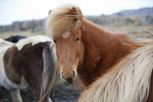 GJ-23-Aurora-Iceland - GJ-23-Horses-in-Iceland.jpg