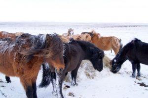 GJ-23-Aurora-Iceland - GJ-23-Icelandic-horses.jpg