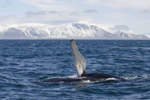 GJ-23-Aurora-Iceland - GJ-23-Whale-watching-in-the-bay-of-Reykjavik-2.jpg