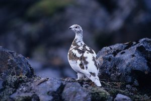 GJ-24-Christmas-and-northern-lights-adventure - GJ-24-Christmas-Iceland-ptarmigan.jpg