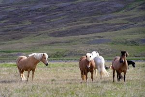 GJ-56-Best-of-south-iceland - GJ-56-Horses-in-Iceland.jpg