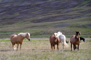 GJ-56-Best-of-south-iceland - GJ-56-Horses-in-Iceland.jpg