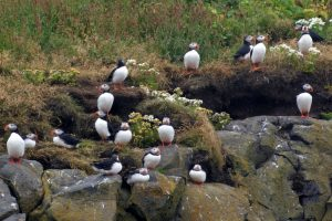 GJ-56-Best-of-south-iceland - GJ-56-Puffins-in-South-Iceland.jpg