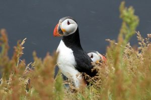 GJ-56-Best-of-south-iceland - GJ-56-Puffins-near-Dyrholaey-20.jpg