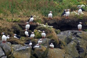 GJ-90-Iceland-country-life - GJ-90-Puffins-in-South-Iceland.jpg