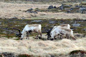 GJ-91-Express-iceland - GJ-91-Reindeer-Iceland-2.jpg