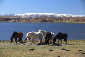 GJ-92-iceland-greenland-discovery - GJ-92-iceland-greenland-discovery-Horses-in-West-Iceland.jpg
