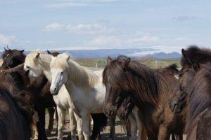 GJ-99-Grand-tour-of-Iceland - GJ-99-Golden-Circle-Horses-2.jpg
