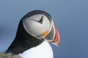 GJ-99-Grand-tour-of-Iceland - GJ-99-Puffin-in-Iceland.jpg