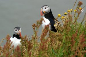 GJ-99-Grand-tour-of-Iceland - GJ-99-Puffins-at-Reynisfjara.jpg